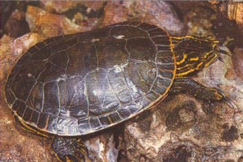 Chrysemys for Stagno per tartarughe