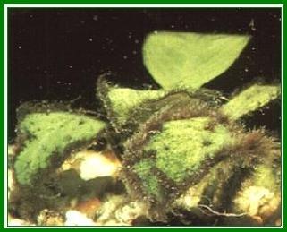 Alghe d 39 acquario for Alghe filamentose laghetto