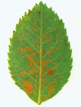 Principali parassiti delle piante for Ruggine delle rose