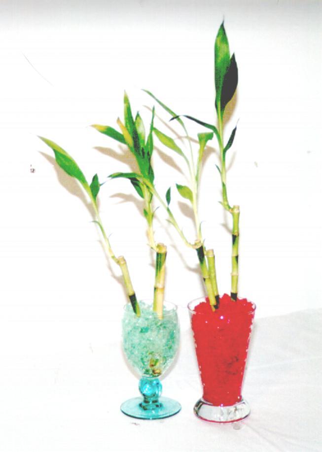 Snap come coltivare bamboo in acqua photos on pinterest for Coltivare more in vaso
