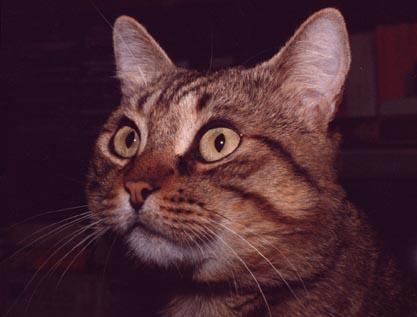 prednisolone vs prednisone for cats