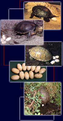 Tartaruga palustre emys orbicularis ovodeposizione for Incubazione uova tartaruga