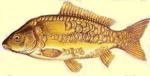 Carp fishing pesca alla carpa tutto sulla carpa pesca - Carpa a specchio ...