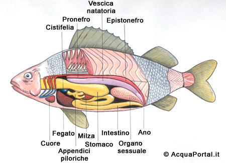 Candele di coronopo del mare da emorroidi a bambini