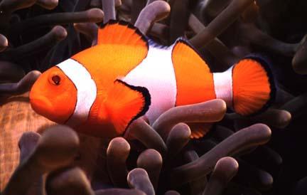 Pagliaccio foto intera for Pesce pagliaccio foto
