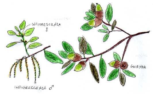 Quercia da sughero for Alberi simili alle querce