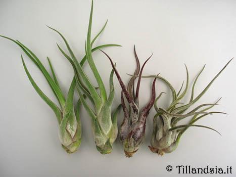 Tillandsia cosa sono foglia for Tillandsia pianta