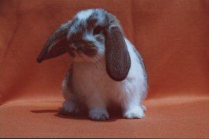 Conigli nano - Lettiera coniglio nano ...