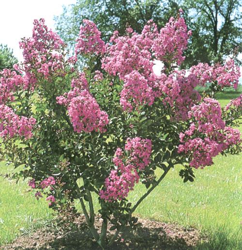 Vivai barberis p a luigi cherasco arbusti ornamentali for Cespugli fioriti perenni da giardino