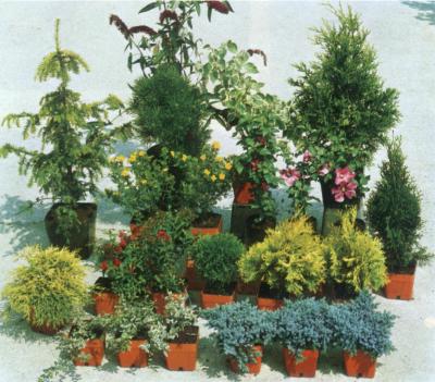 Vivai barberis p a luigi cherasco conifere for Conifere da giardino