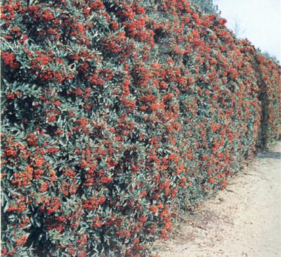 Vivai barberis p a luigi cherasco siepi for Piante da frutto ornamentali